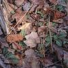 Goodyera pubescens- Rattlesnake Plantain