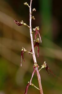 Listera australis-Southern Twayblade