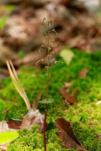 Listera australis- Southern Twayblade