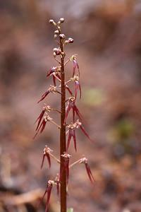 Southern Twayblade (Listera australis)