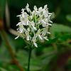 Platanthera blephariglottis- White-fringed Orchid