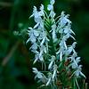 Platanthera blephariglottis-White Fringed Orchid