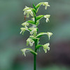 Platanthera clavellata- Green Woodland Orchid