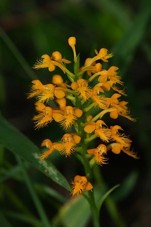 Platanthera cristata- Orange Crested Orchis