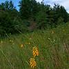 Platanthera integra- Yellow Fringeless Orchid
