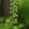 Platanthera lacera- Ragged Fringed Orchid