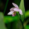 Pogonia ophioglossoides- Rose Pogonia