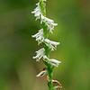 Spiranthes lacera var. gracilis- Northern Slender Ladies Tresses