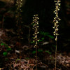 Tipularia discolor- Cranefly Orchid