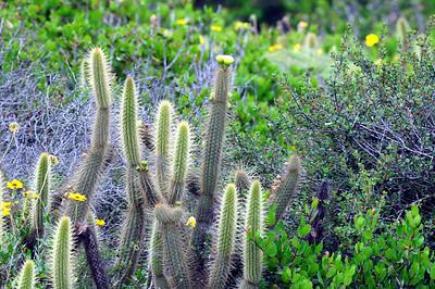 Gold Hammer Cactus