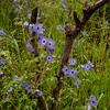 Pholistoma auritum (fiesta flower) - Salt Creek
