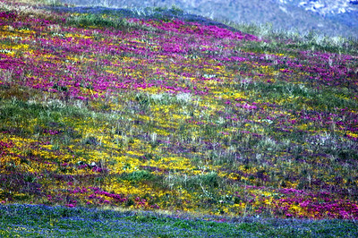 Wild flowers spread over a Cuyamaca hillside