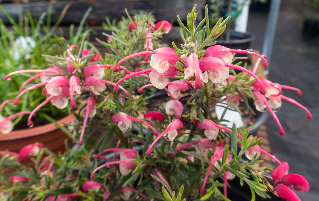 . Grevillea is a large genus of plants from Australia.  Other genera of Australian plants in the Arboretum sale include Banksia and Correa. Photo: Jackie Pascoe