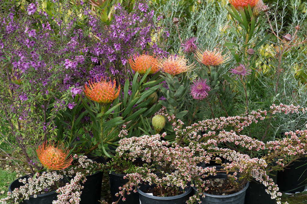 . Some beautiful plants in the UCSC Arboretum sale. From top left to lower right: Prostanthera ovalifolia �Purple Haze�; Leucospermum \'Spider\';  Isopogon formusus (purple flower); Micromyrtus ciliata. Photo: Jackie Pascoe