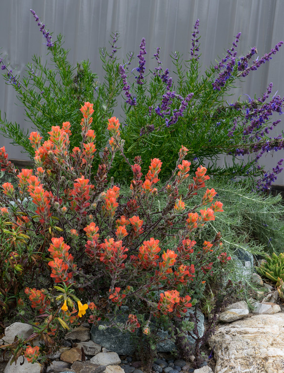 . A hemi-parasitic orange-red paintbrush from Monterey, here partnered with low growing sage brush, Artemisia \'Canyon Grey.\' Woolly blue curls in the background. Inspired by Laing\'s success, CNPS hopes to introduce paintbrush plants in its next spring sale. Photo: Jackie Pascoe