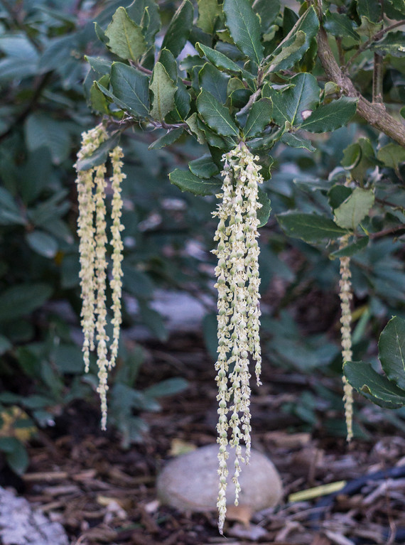 . In winter, the evergreen silk tassel bush puts on a show with male flowers hanging in long white catkins. Only male plants are sold for gardens. Photo: Jackie Pascoe