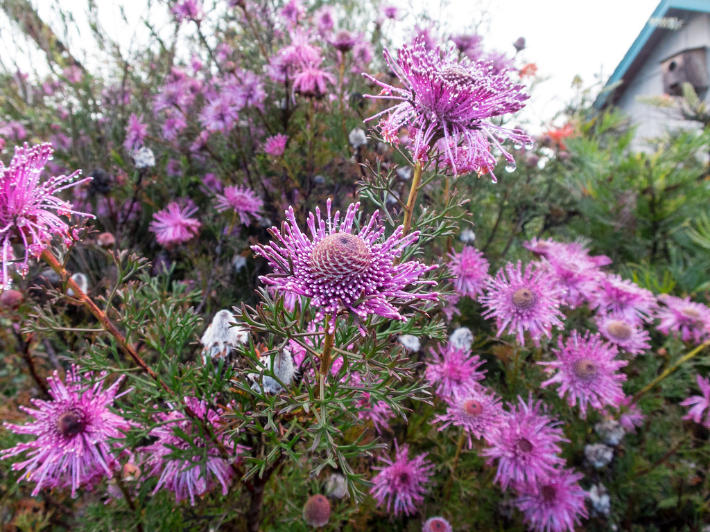 . Isopogon formosus is an upright Australian evergreen shrub growing to six feet. Photo Jackie Pascoe