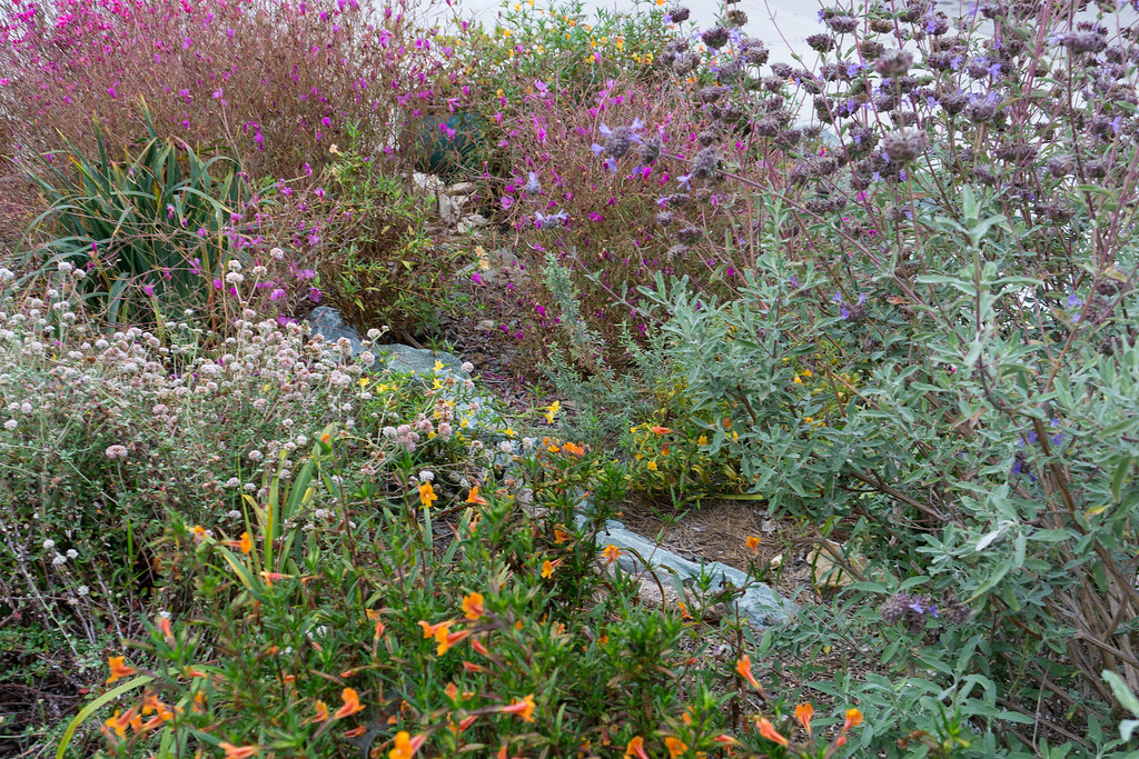 . In August, buckwheats, Cleveland sage, monkey flower, and Clarkia fill Laing\'s  native California plant garden with color. Photo: Jackie Pascoe