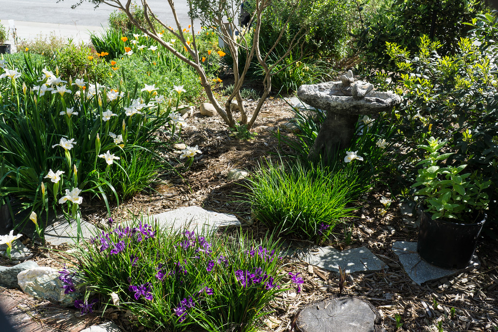 . in early April, Laing\'s native California plant garden is alive with iris, poppy, and monkey flower blooms. Photo: Jackie Pascoe