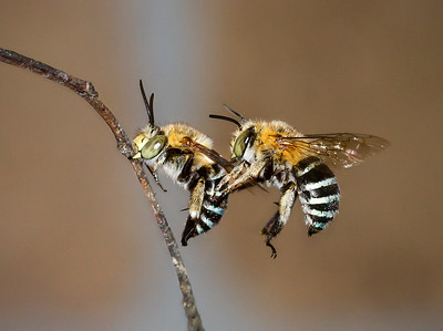 Blue-banded bee,males_7056