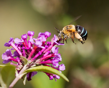 Blue-banded bee, female_050a