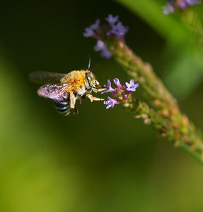 Blue-banded bee_1569