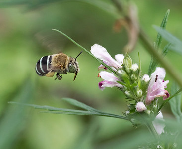 Blue-banded bee, female - 0967