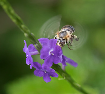 Blue-banded bee,old male_6729