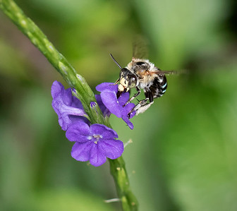 Blue-banded bee_6640