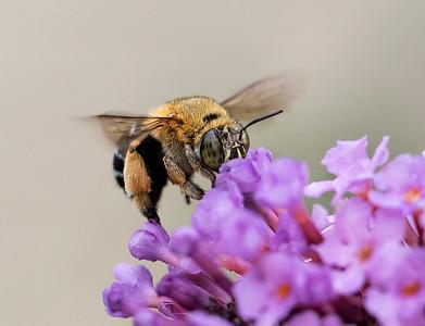 Blue-banded bee-Amegilla cingulata_2020