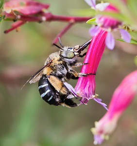 Blue-banded bee, old female - 082