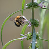 Blue-banded bee,female - Amegilla cingulata_5591