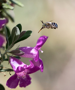 Blue-banded bee - 5017