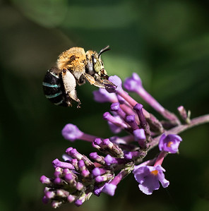 Blue-banded bee - 8502
