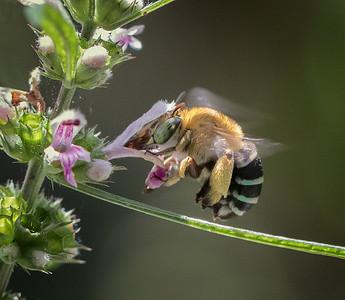 Blue-banded bee - Amegilla cingulata_5583