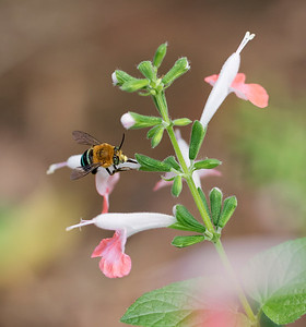 Blue-banded bee,male_6615