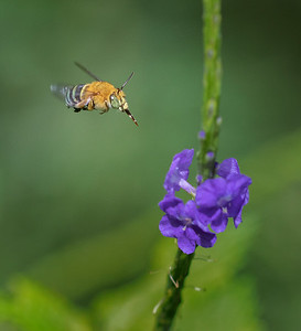 Blue-banded bee,male_6656