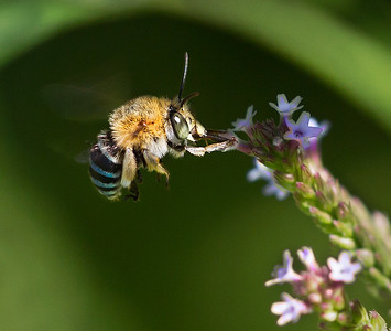Blue-banded bee,male - 1573