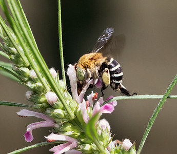 Blue-banded bee,female - 1278