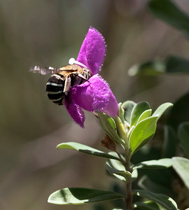 Blue-banded bee, male - 0081
