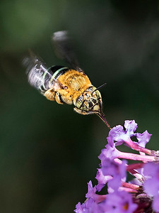 Blue-banded bee_9924
