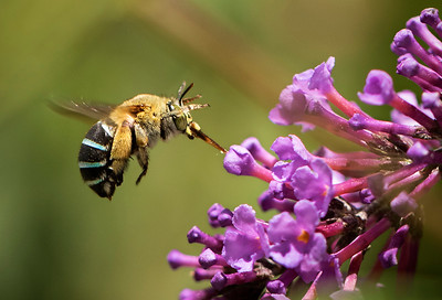Blue-banded bee, female_9953