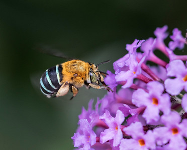 Blue-banded bee, female_9897