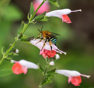 Blue-banded bee,male - 3738