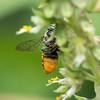 Leafcutter bee-scopa_5723