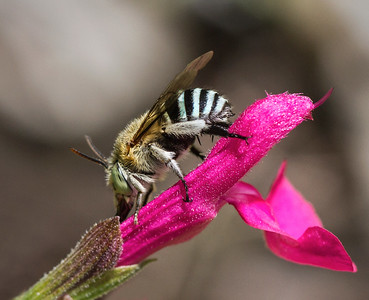 Blue-banded bee, male_0383