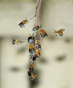 Blue-banded bees, males _0834