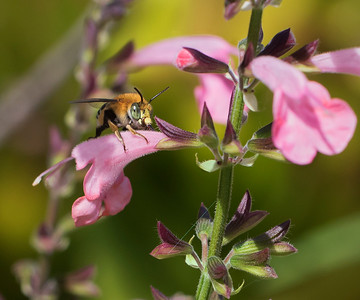 Blue-banded bee,male_7203