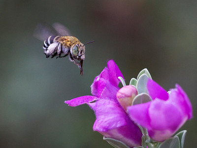 Blue-banded bee - 0862