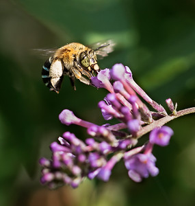 Blue-banded bee, female_8494